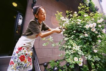Removing affected leaves and stems helps control fungal infections in roses.