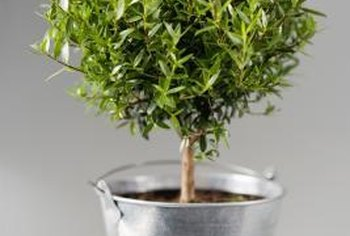 Many plants grow well indoors when they receive regular pruning.