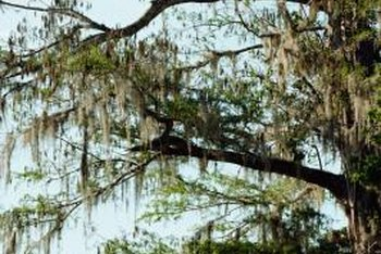 Keep bald cypress trees healthy and vigorous to prevent problems.