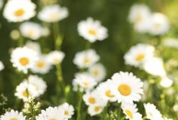 Daisies tend to grow in moist conditions.