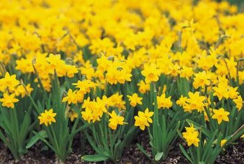 Varieties of daffodils put on their floral display by late April.