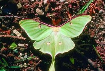 The luna moth, which leaves behind small green eggs, is one of the largest moths in North America.