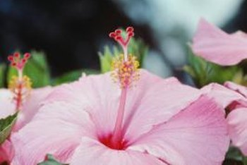 Each rose of Sharon flower displays a prominent center staminal column.