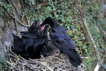 Your yard could be near an urban roosting area of crows.