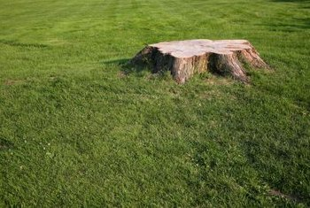 Roots can continue to sprout around tree trunks for weeks.