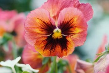 Pansies may require fertilization with special minerals.
