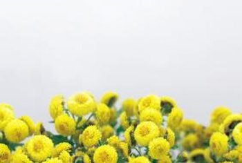 Healthy chrysanthemums are better able to survive insect attacks.
