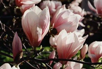 Saucer magnolias bloom before their foliage begins, enticing omnivorous loopers.