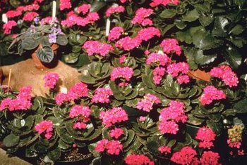 """Flaming Katie"" is a small, erect kalanchoe with bright flowers."