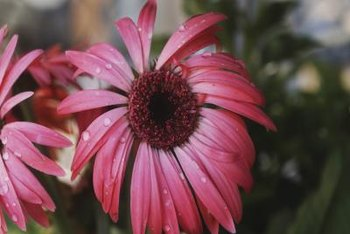 Purple coneflower is native to North America.