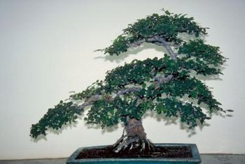 A bonsai tree can be formed into a particular shape.
