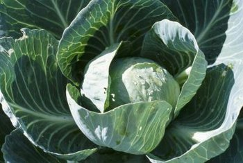 Reduce damage from cabbage worms by selecting resistant varieties of cabbage and planting early.