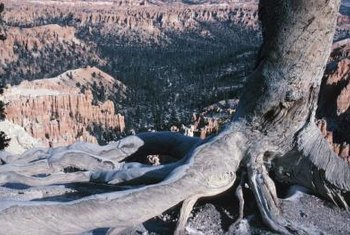 Cutting large buttress roots affects a tree's stability.