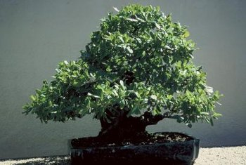 A dying bonsai can often be saved and live for many more years.