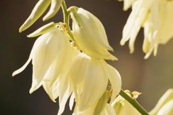 Yucca plants produce large clusters of white, bell-shaped flowers.