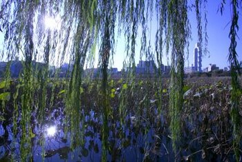 Weeping willow trees prefer a moist site next to a body of water.