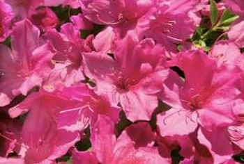 Azaleas grow well in groups to create a flowering privacy hedge.