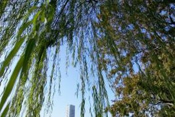 Inspect the leaves, branches and trunk to determine if a weeping willow is dead.