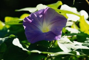 You'll recognize morning glories by their heart-shaped leaves and bright flowers.