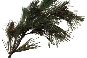 Root white pine branches by cuttings or air layering.