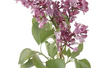 The weight of purple flowers cause the stems to droop on lilac shrubs.