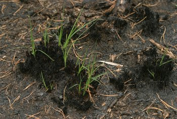 Grass seedlings are not strong enough to push through thick topsoil.