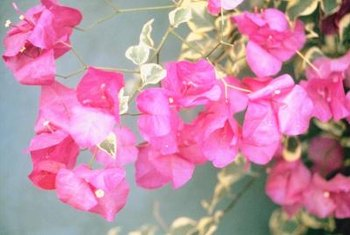 Bougainvilleas often grow well in hanging baskets.