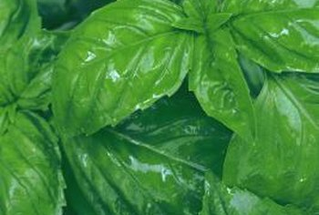 Basil plants have large bright green or purple leaves.