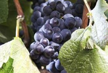 Some black grape varieties are suitable for container growth.