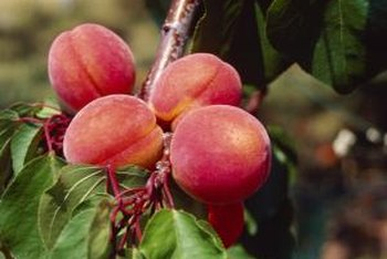Peaches change from green to yellow when ready for harvest.