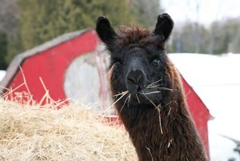 Alpaca manure may contain fewer weed seeds than horse manure.