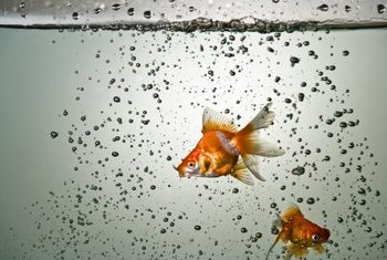 Goldfish can support a small aquaponic garden.