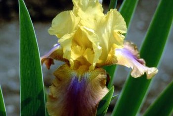 Iris flowers come in all the colors of the rainbow.