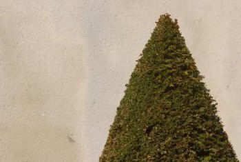 A cone shape forms a starting point to create a spiral shrub.