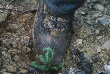 Firm the soil gently around the newly planted seedling using your foot.