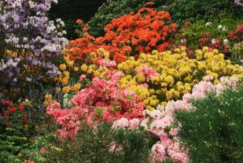 Dynamite crape myrtles work well in mixed shrub beds, as hedges or focal points.