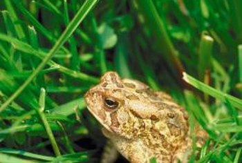 Loss of habitat is a primary reason for declining numbers of toads.