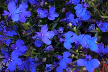 Blue pimpernel's spread makes it a good choice for borders or ground cover.