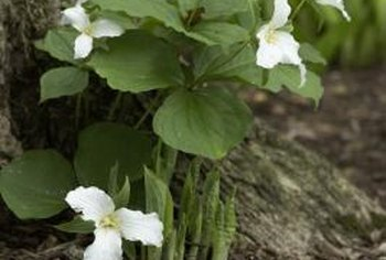 Trillium is among the perennials that do well in deep shade.