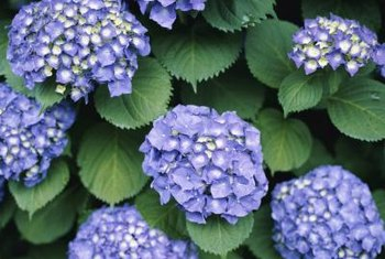 Acidic soil is required to tint hydrangea flowers blue.