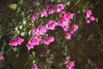 Bougainvillea vines grow quickly to cover a trellis or arbor.