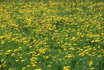 Dandelions are considered a weed by many people and grow very quickly outdoors.