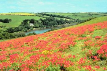 Flamboyant poppies awaken the sleepiest landscapes.
