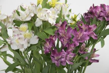 Peruvian lily blossoms are trumpet-shaped with spotted throats.