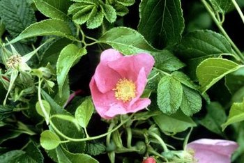 Rugosa rose flowers are small and reminiscent of wild roses.