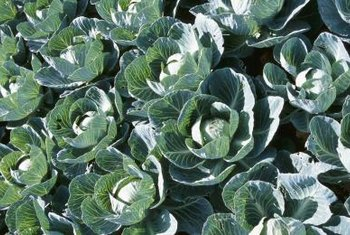 Cabbage matures within 60 to 120 days after planting the seed, depending upon the variety.