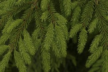 Plant miniature spruce trees for practical and aesthetic purposes.