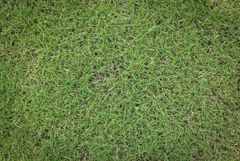 Bermudagrass grows quickly to form a dark green lawn.