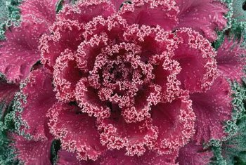 Ornamental kale gives long-lasting fall color to a hanging basket.