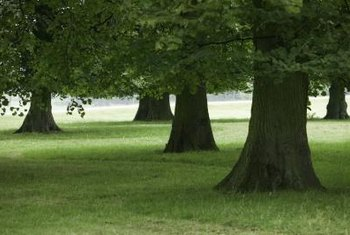 Valley oak trees produce dark green leaves that range from 2 to 4 inches in length.